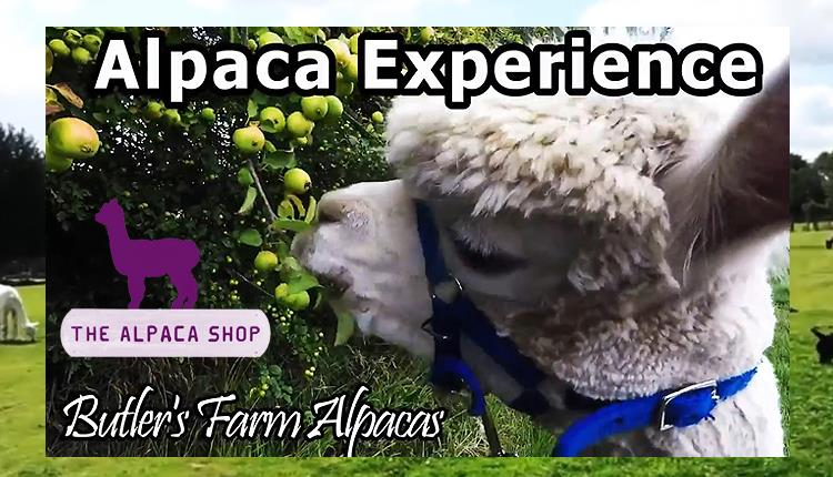 Alpaca Experience at Butler's Farm, Willingale, Essex.